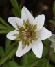 Anemone nemorosa Green Fingers