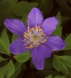 Anemone nemorosa Mart's Blue