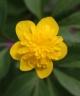 Anemone ranunculoides DAGERORT
