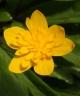 Anemone ranunculoides JOEL