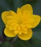 Anemone ranunculoides KAI