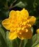 Anemone ranunculoides LEENA