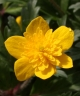 Anemone ranunculoides MAMMA