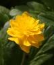 Anemone ranunculoides NIIDI