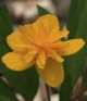 Anemone ranunculoides Orjaku