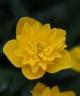Anemone ranunculoides PAPA