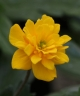 Anemone ranunculoides PIISA