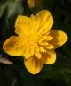Anemone ranunculoides RITA