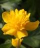 Anemone ranunculoides SIRJE