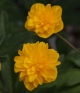 Anemone ranunculoides Triin