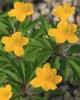 Anemone ranunculoides wocheana