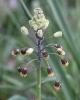Bellevalia sarmatica