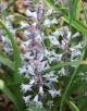 Bellevalia species nova ARGI-079-ex