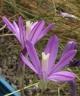 Brodiaea terrestris subsp. terrestris