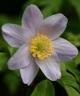 Anemone nemorosa Buckland