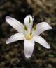 Colchicum cretense