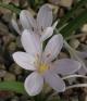 Colchicum cupanii