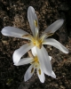 Colchicum leptanthum