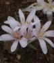 Colchicum mirzovae