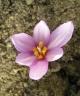 Colchicum serpentinum