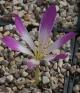 Colchicum speciosum LST-292