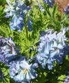 Corydalis a turtschaninovii Late Blue