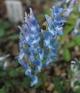Corydalis a fumariifolia