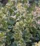 Corydalis c maracandica