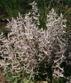 Corydalis c ruksansii