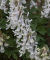 Corydalis b solida 'APPLE SNOW'