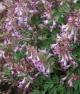 Corydalis b solida HOCUS-POCUS