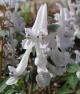 Corydalis b solida LOTH LORIEN