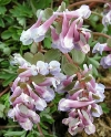 Corydalis b solida 'LOUISE ELISABETH'