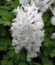 Corydalis solida 'SNOW IN SPRING'