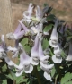 Corydalis b solida SNOWLARCH