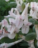 Corydalis  solida Touch of Pink