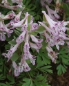 Corydalis b solida 'TWILIGHT'