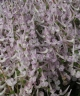 Corydalis a tauricola x caucasica Alba