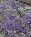 CROCUS  AAUTUMN BLOOMING SPECIES