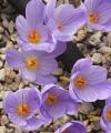 Crocus  ilgazensis x pulchellus 'FANTASY'