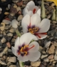 Crocus  cartwrightianus Purple Heart