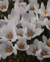 Crocus  cartwrightianus Michel