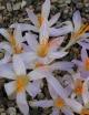 Crocus  damascenus BATM-351