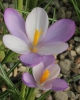 Crocus  goulimyi New Harlequin