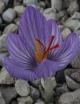 Crocus  pallasii aff. Chios Island