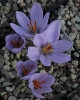 Crocus  homerii species nova