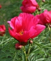 zzzz Paeonia EARLY SCOUT