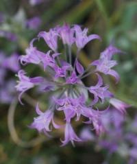 Allium acuminatum