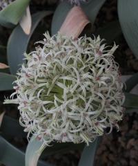 Allium derderianum