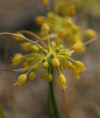 Allium flavum var. minus